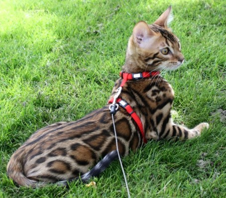 Bengal cat breeders atlantic canada